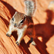 Antelope Ground Squirrel Art Print