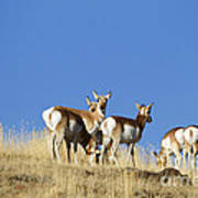 Antelope Herd   #0296 Art Print