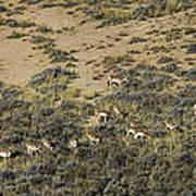Antelope Herd Panorama  Signed   20x80 Art Print