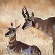 Antelope Love Art Print