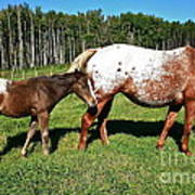 Appaloosa Mamma And Baby Art Print