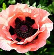 Appealing Pink Poppy Art Print