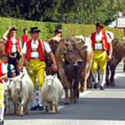 Appenzell Parade Of Cows Art Print