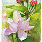Apple Blossom And Buds Art Print
