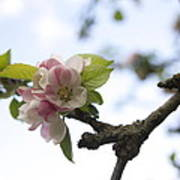 Apple Blossom Art Print by Maeve O Connell
