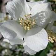 Apple Blossom Time Art Print