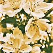 Apple Blossoms 2 Art Print