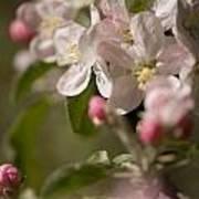 Apple Flowers Art Print