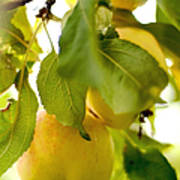 Apple Taste Of Summer 1 Art Print