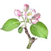 Apple Tree Flower  Art Print