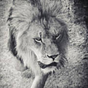 Approaching Lion Art Print