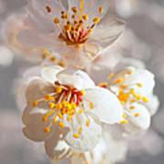 Apricot Blooms Art Print
