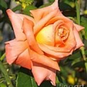 Apricot Nectar Rose Art Print