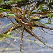 Aquatic Hunting Spider Art Print