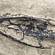 Aquatic Reptile Skull Art Print by Science Photo Library