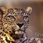 Arabian Leopard Panthera Pardus 1 Art Print