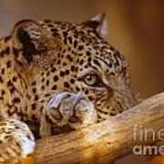 Arabian Leopard Panthera Pardus Art Print