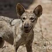 Arabian Wolf Canis Lupus Arabs Art Print