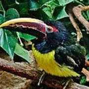 Aracari Art Print