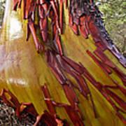 Arbutus Tree Trunk Art Print