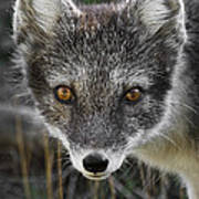 Arctic Fox In Summer Coat Art Print