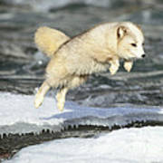 Arctic Fox Jumping Art Print