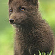 Arctic Fox Portrait Alaska Wildlife Art Print