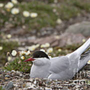 Arctic Tern In Its Nest Art Print