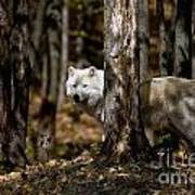 Arctic Wolf Picture 242 Art Print