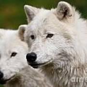 Arctic Wolf Picture 247 Art Print