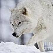 Arctic Wolf Pictures 1054 Art Print