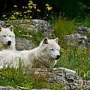 Arctic Wolf Pictures 1128 Art Print
