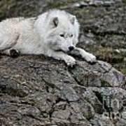 Arctic Wolf Pictures 1142 Art Print