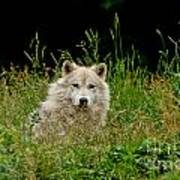 Arctic Wolf Pictures 1172 Art Print