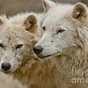 Arctic Wolf Pictures 1174 Art Print