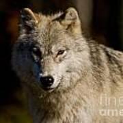 Arctic Wolf Pictures 1224 Art Print