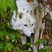 Arctic Wolf Pictures 1228 Art Print