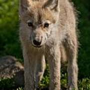 Arctic Wolf Pictures 345 Art Print