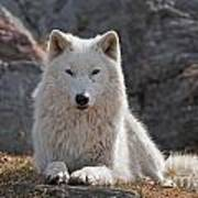 Arctic Wolf Pictures 518 Art Print