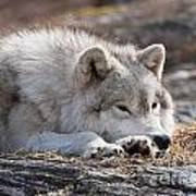 Arctic Wolf Pictures 526 Art Print