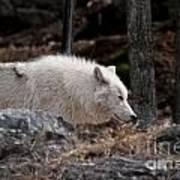 Arctic Wolf Pictures 541 Art Print