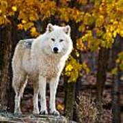 Arctic Wolf Pictures 709 Art Print