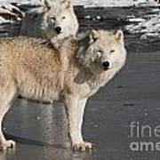 Arctic Wolf Pictures 812 Art Print