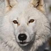 Arctic Wolf Pictures 814 Art Print