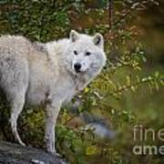 Arctic Wolf Pictures 922 Art Print