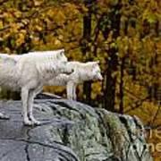 Arctic Wolf Pictures 930 Art Print