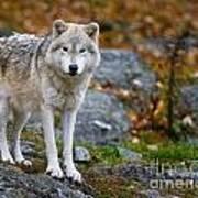 Arctic Wolf Pictures 942 Art Print