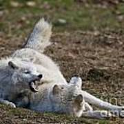 Arctic Wolf Pictures 996 Art Print