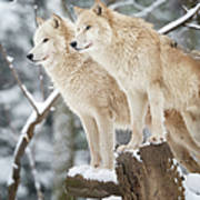 Arctic Wolves Pack In Wildlife, Winter Art Print