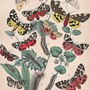 Arctlidae Art Print